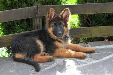 Altdeutscher Schäferhund: Infos zur Rasse