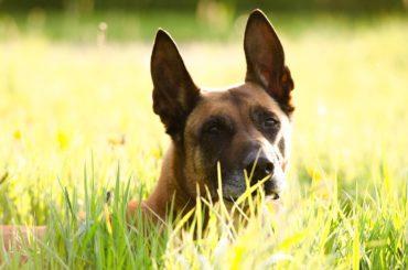 Belgischer Schäferhund: Infos zur Rasse
