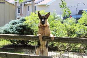 Krankheiten bei Schäferhunden vermeiden