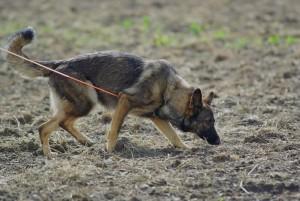 Schäferhunde als Wachhunde