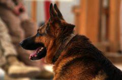 Deutscher Schäferhund: Infos zur Rasse