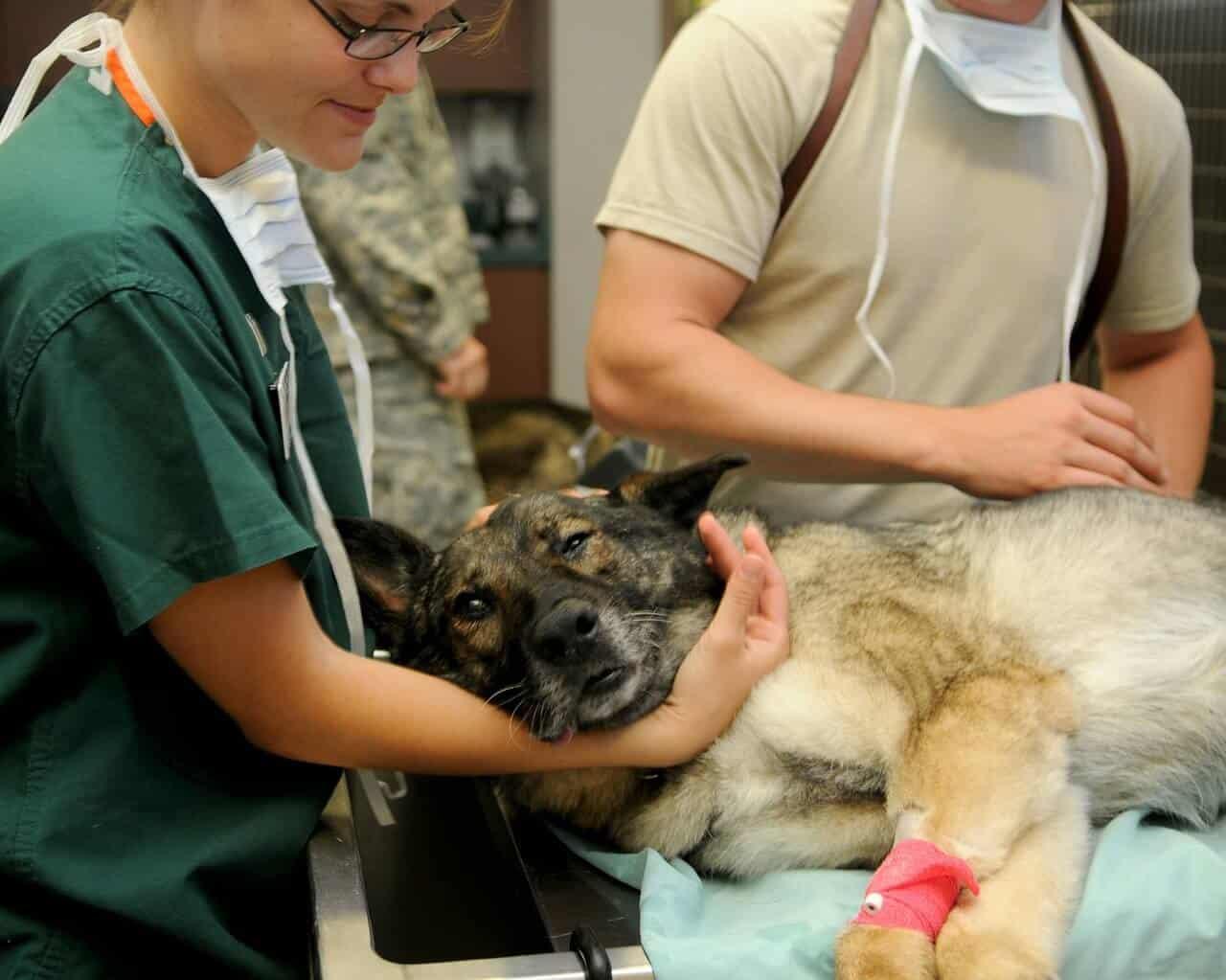 Schäferhund Gesundheit Tierarzt