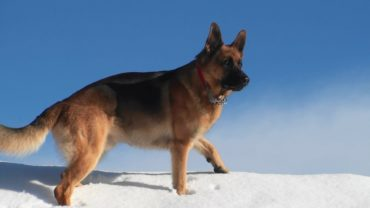 Schäferhund: Rasse allgemeine Infos