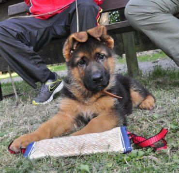 Schäferhund Welpen: Alle Infos