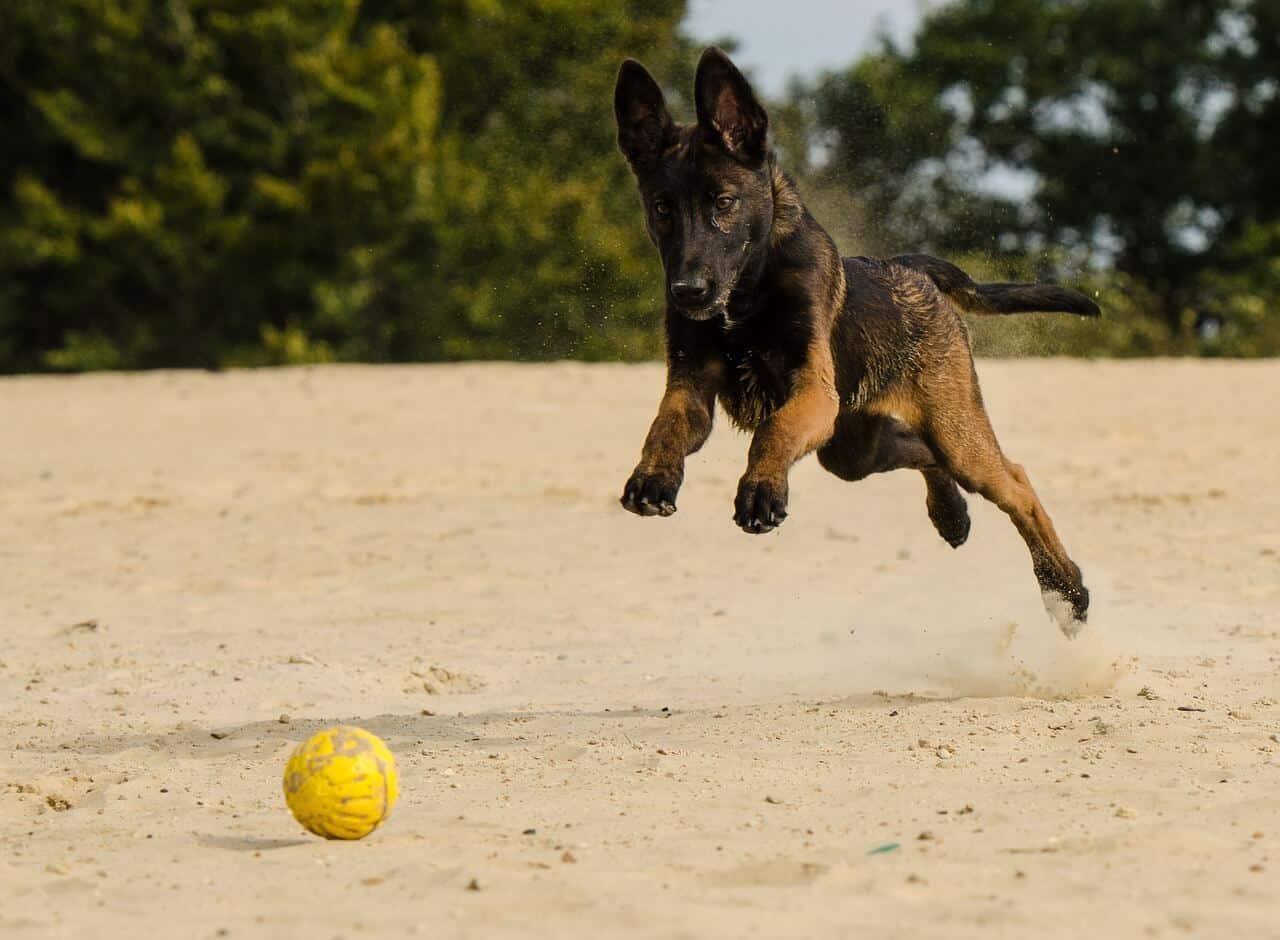 Gesunder Schäferhund