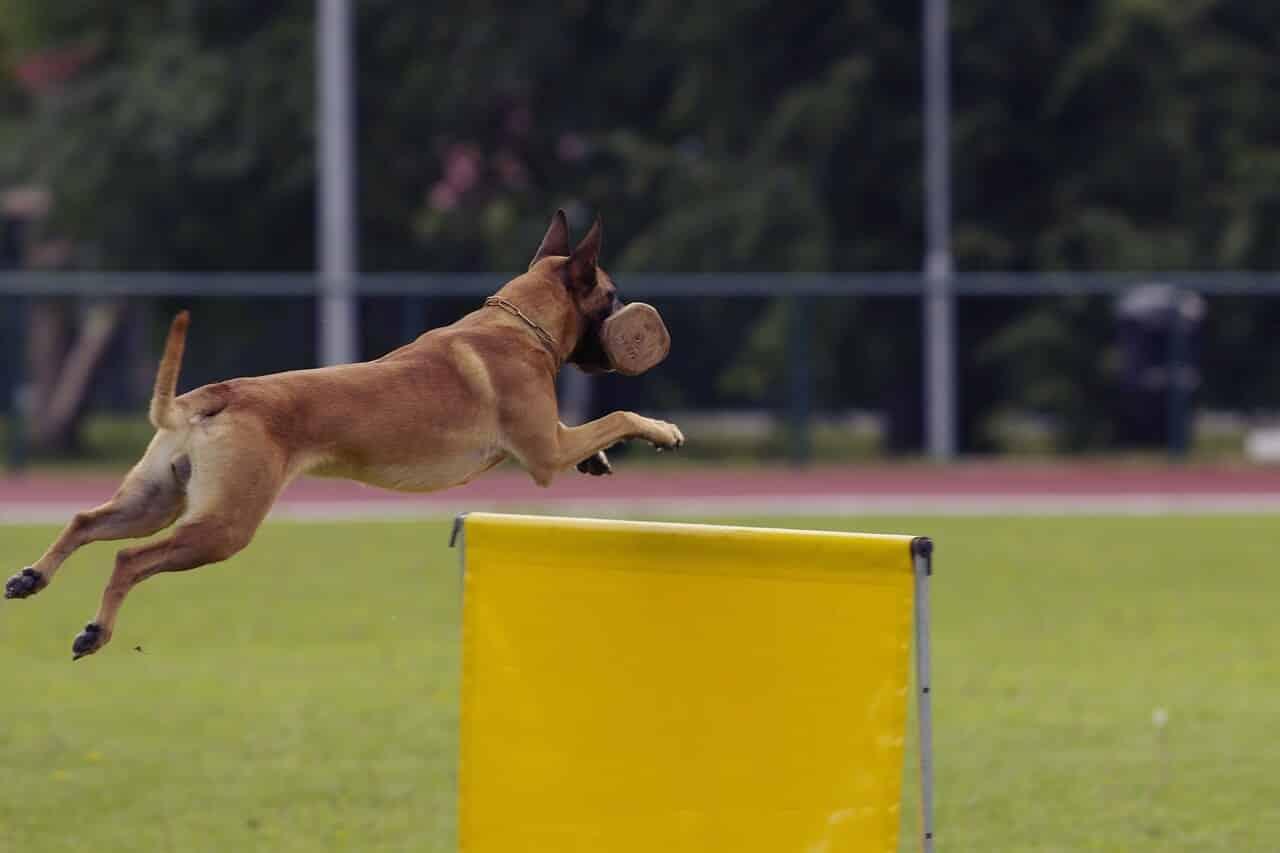 Training Belgischer Schäferhund
