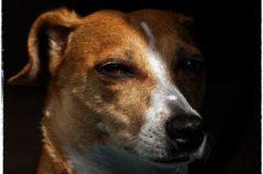 Jack Russell Terrier: Infos zur Rasse