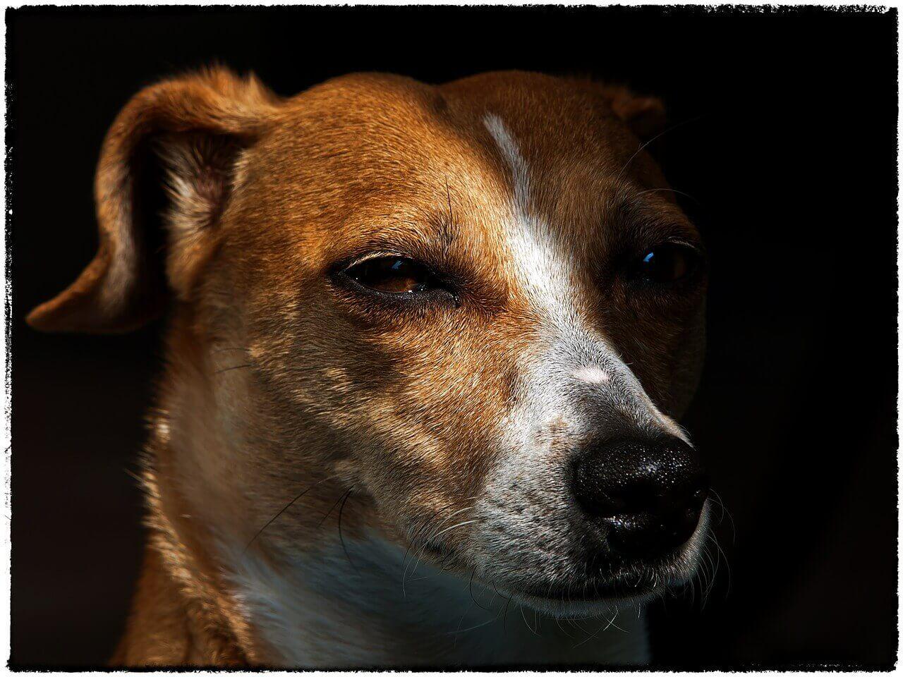 Jack Russell Terrier Infos zur Rasse