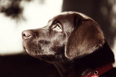 Labrador: Infos zur Rasse