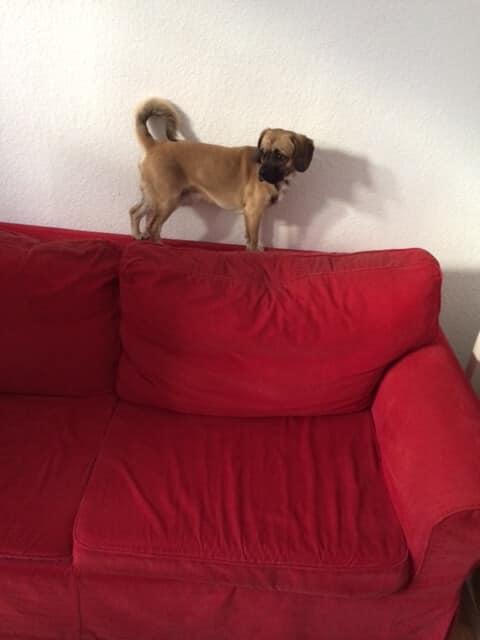 Puggle auf Sofa