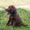 Labrador Welpen Halsband