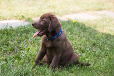 Labrador Welpen: Alle wichtigen Infos