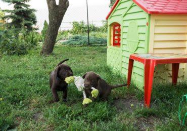 Labrador Züchter und Labrador Zucht