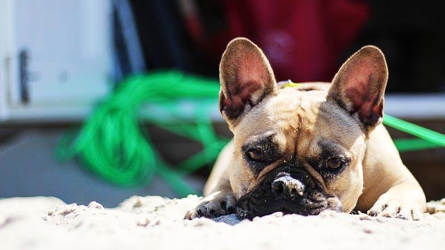 Hundekotbeutel Bulldog