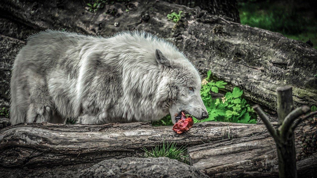 Wie viel Wolf steckt in meinem Hund Natürliche Ernährung für Hunde